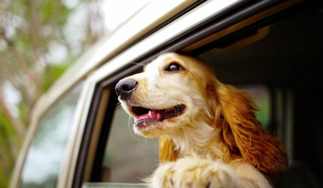 dog looking outside the window of car